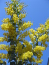Acacia_cultriformis_2