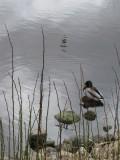 A_duck