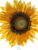 11sunflower