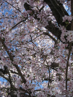 Sakura_2012